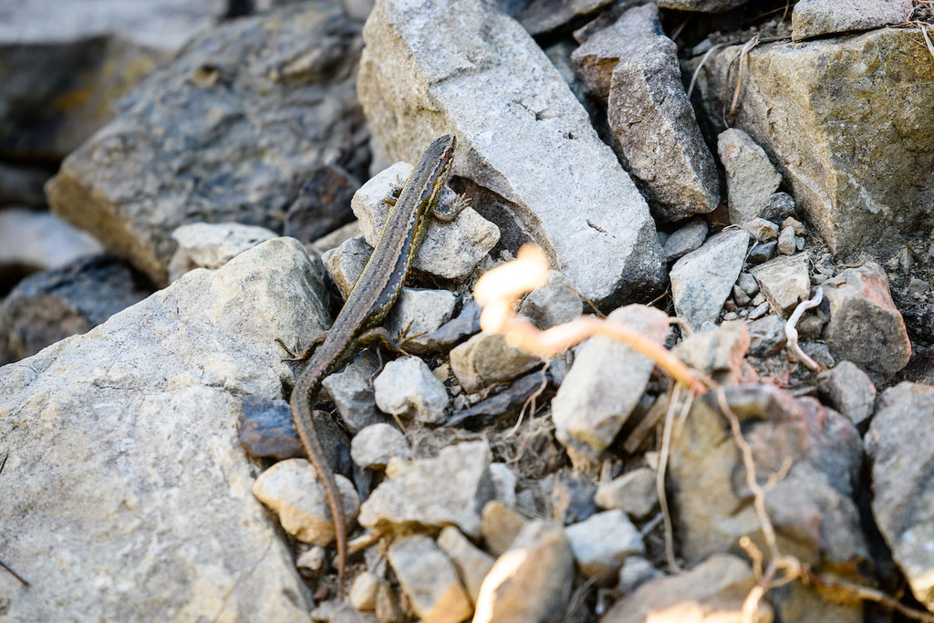 Lizards welcomed home to Transmission Gully